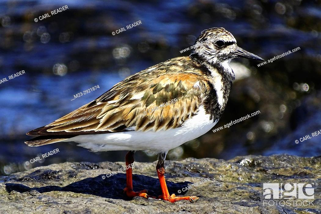 Stock Photo: A side view of a ruddy turnstone, arenaria interpres, Long Beach Island, New Jersey, USA.