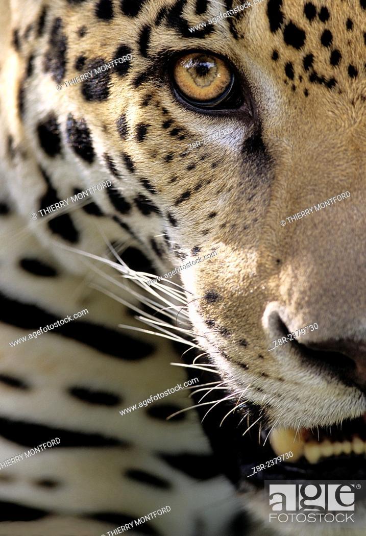 Stock Photo: Panthera onca. Jaguar close-up. French Guiana.