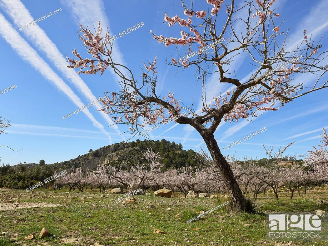 Stock Photo: Almond tree blossom on a field in the mountains of Ludiente, Castellón, Spain.