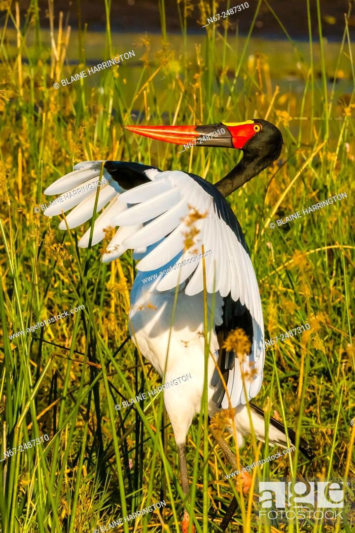 Stock Photo: Saddle-billed stork flapping it's wings, near Kwara Camp, Okavango Delta, Botswana.