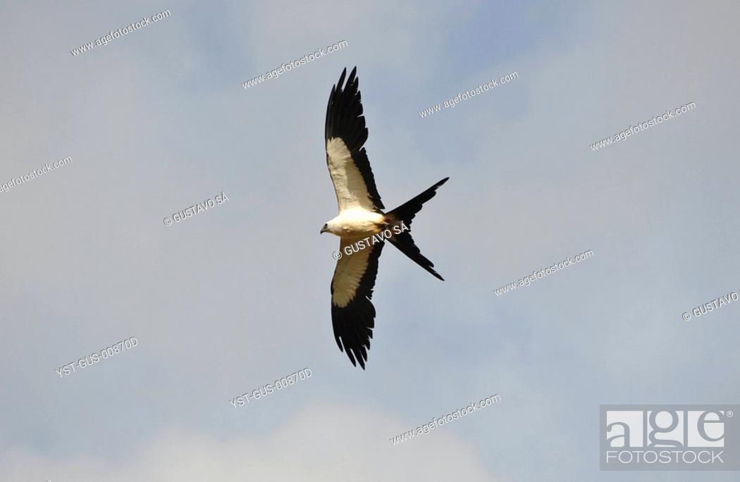 Stock Photo: Hawk Cuts, Bird of prey, Palmas, Tocantins, Brazil.