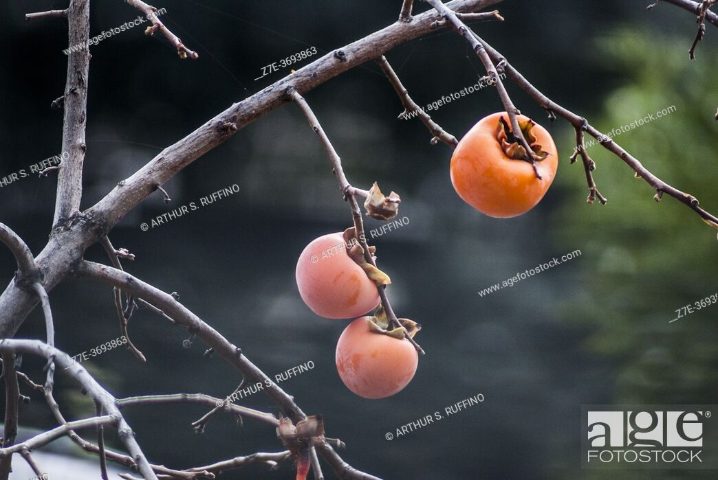 Stock Photo: Persimmon fruit (Diospyros) growing on tree in November. Genoa, Liguria, Italy, Europe.