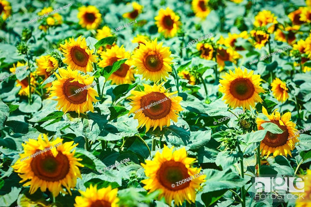 Stock Photo: Yellow Sunflowers Field in Bulgaria.