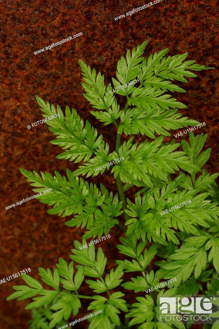 Photo de stock: vegetation, wild, yield, fleshy, organic, foliage.