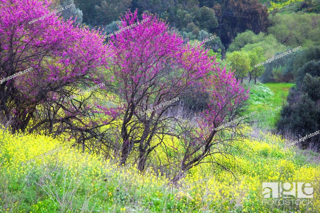 Stock Photo: Israel, Upper Galilee, Metula, fruit trees by frontier with Lebanon, early spring.