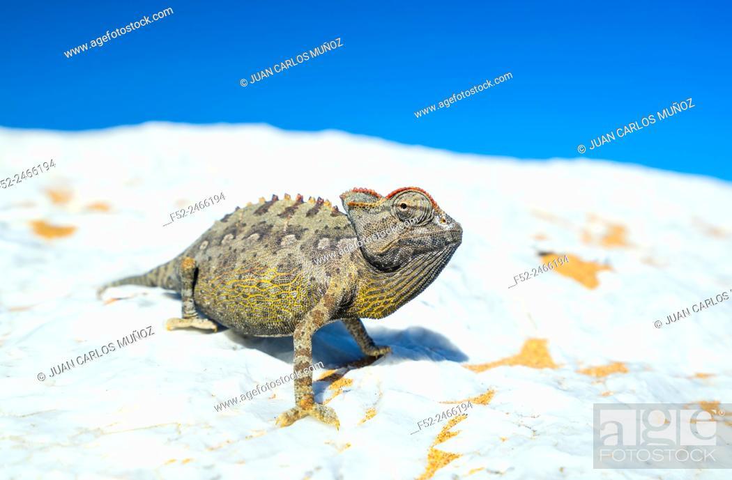 Stock Photo: Namaqua chameleon, Chamaeleo namaquensis, Sand Dunes, Swakopmund, Erongo, Namibia, Africa.