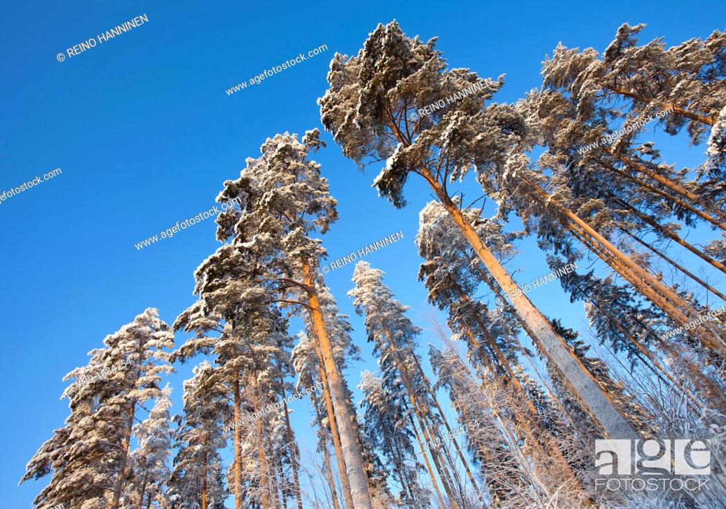 Stock Photo: Pine, pinus sylvestris, trees at Winter  Location Suonenjoki Finland Scandinavia Europe EU.