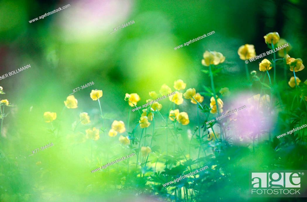Stock Photo: European globeflower (Trollius europaeus). Sweden.