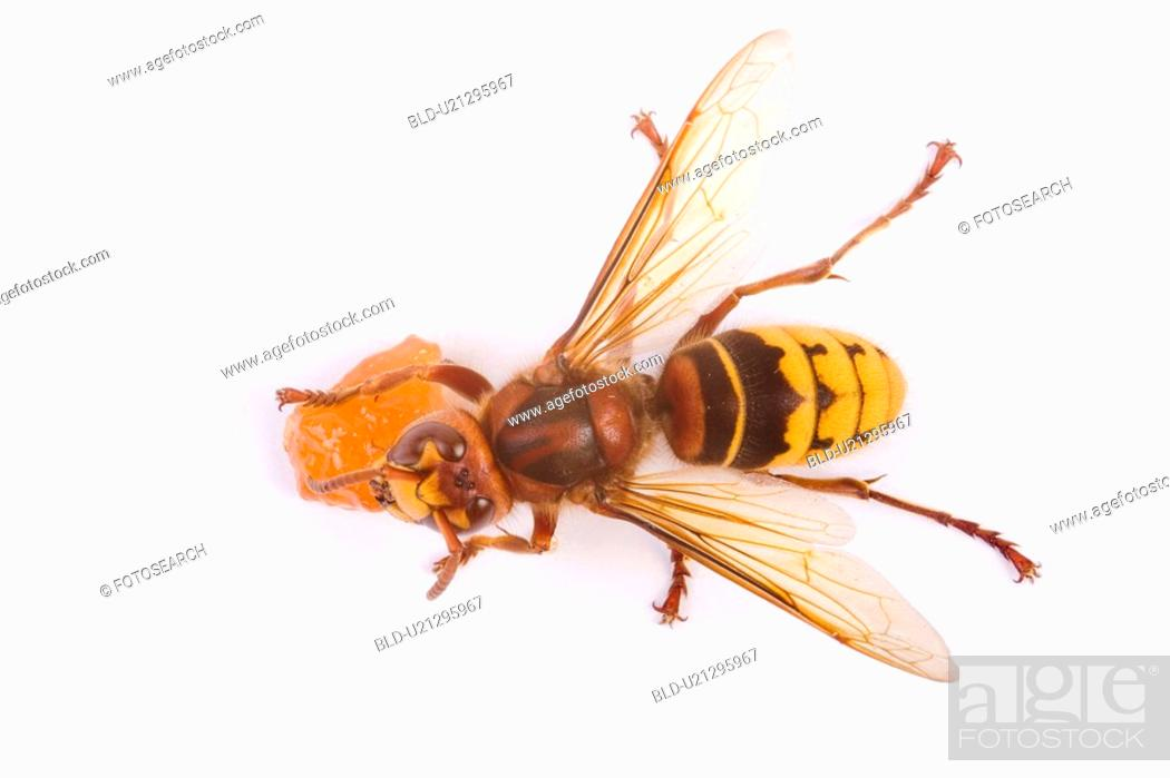 Stock Photo: freigestellt, alfred, aliment, animal, animals, bee.