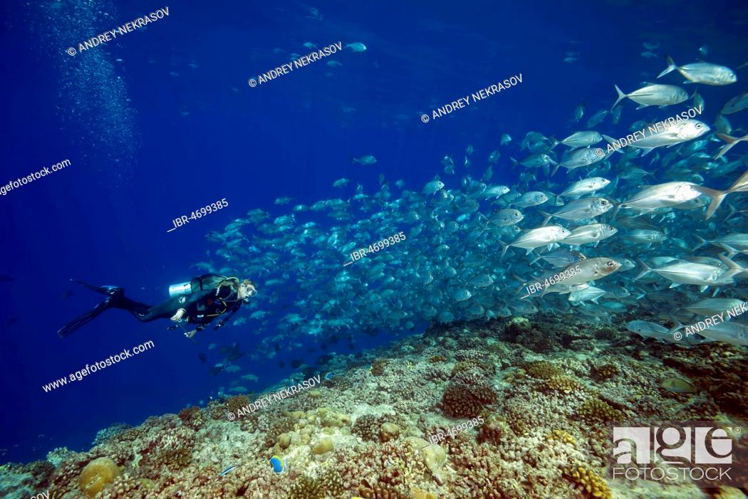 Stock Photo: Female scuba diver swims with school of bayads, Bigeye Trevally or Dusky Jack (Caranx sexfasciatus) in blue water over coral ree , Fuvahmulah island.