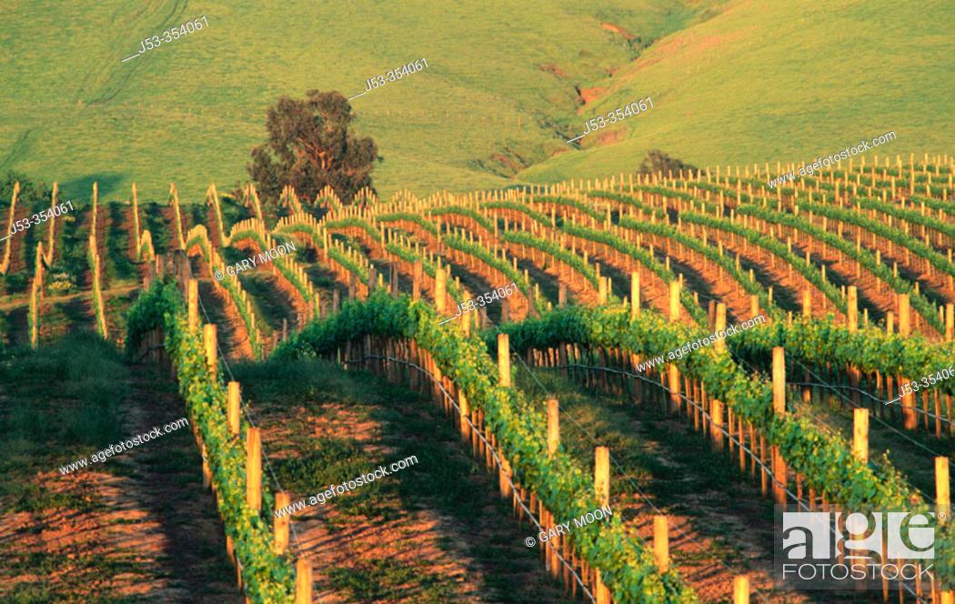 Stock Photo: Vineyard at sunset. Napa Valley, California. USA.