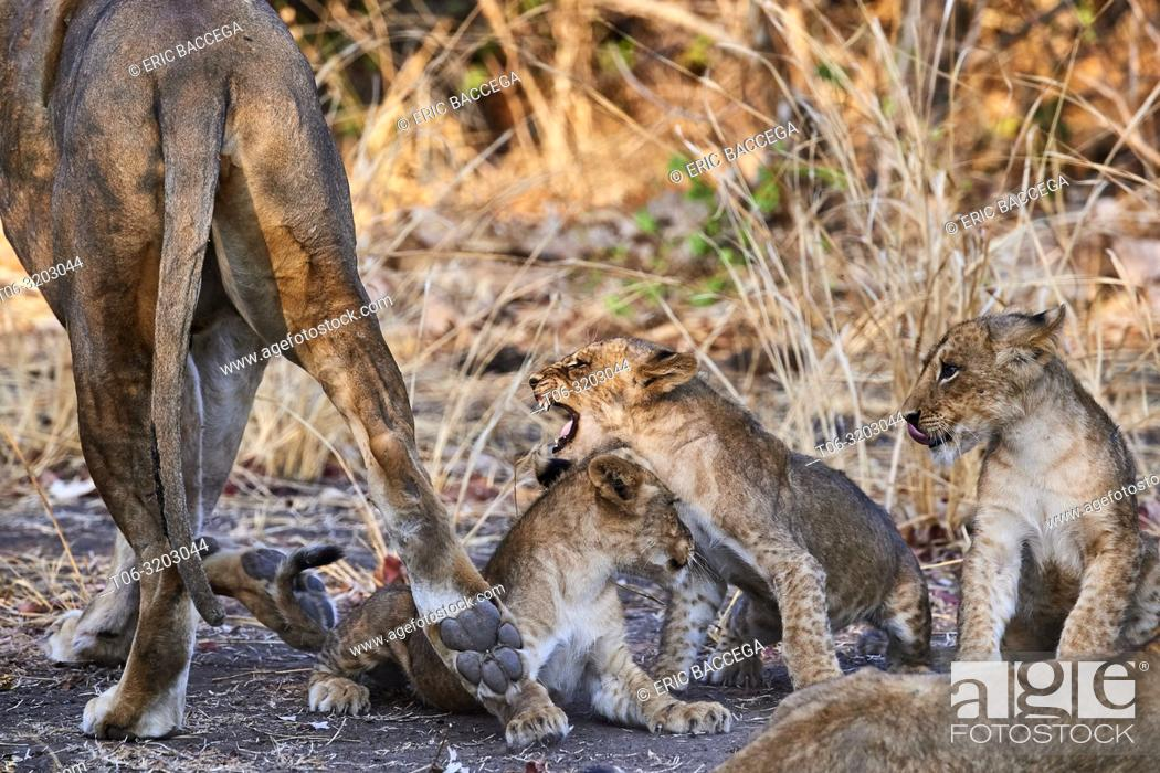 Stock Photo: African lion female moving away from cubs begging for more suckling (Panthera leo) South Luangwa National Park, Zambia.
