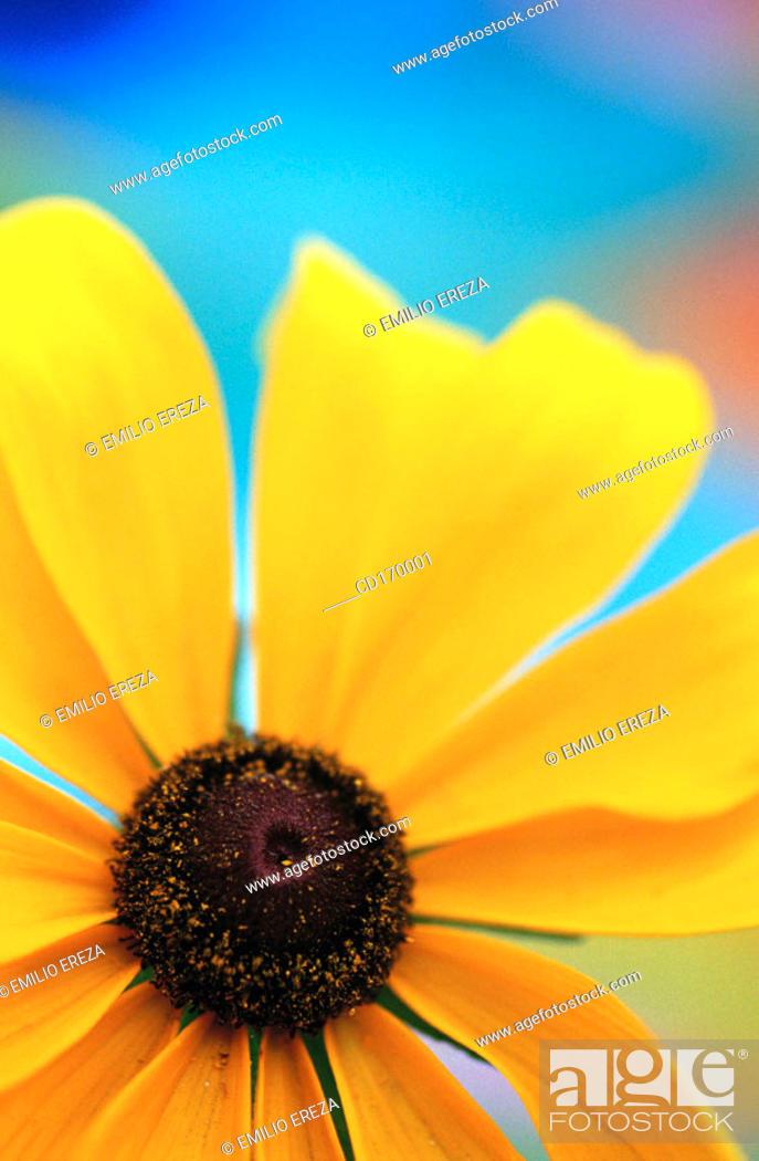 Stock Photo: Rudbeckia hybr.