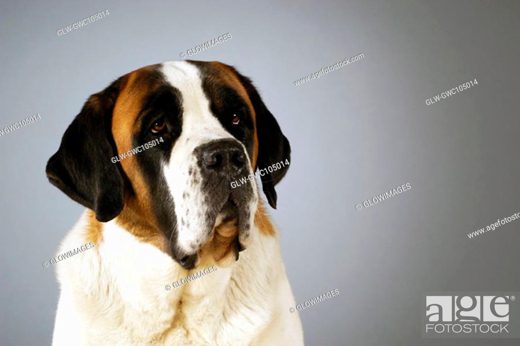 Stock Photo: Close-up of a St. Bernard dog looking away.