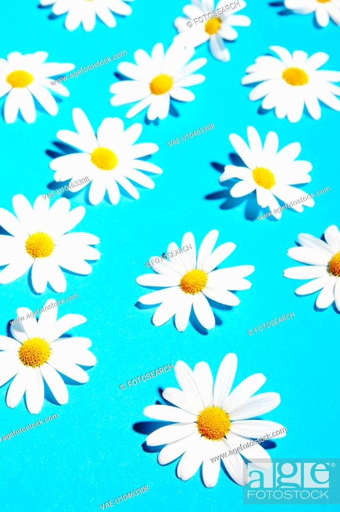 Stock Photo: Compositae, beautiful, blue, blossom, beauty, flora, anordnung.