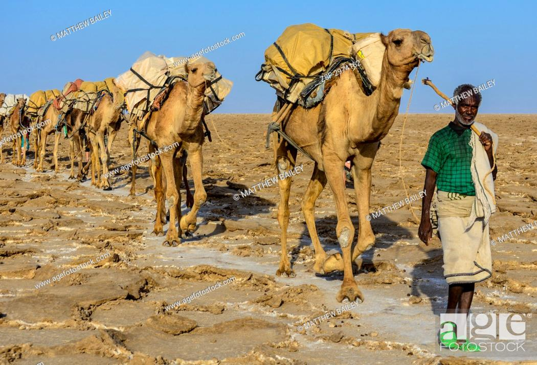 Stock Photo: An Ethiopian man guides his camel train through the Danakil Depression in Northern Ethiopia.