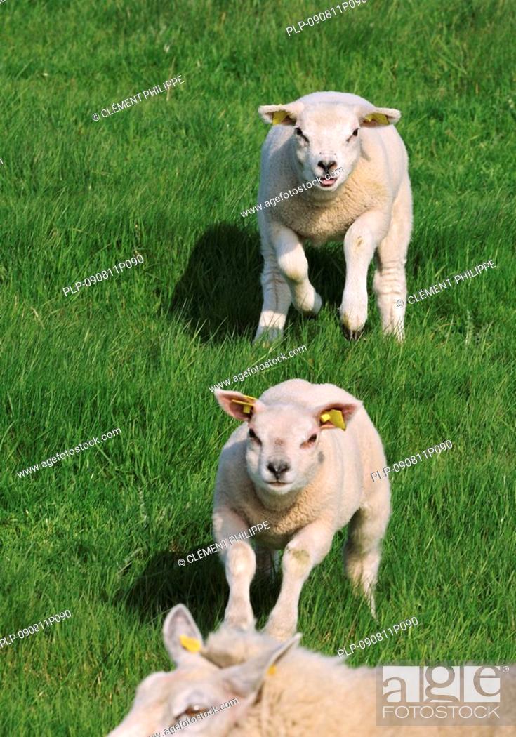 Domestic Texel sheep Ovis aries lambs running to ewe in