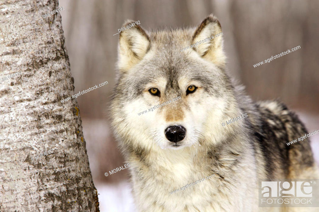 Stock Photo: Timber Wolf (Canis lupus).