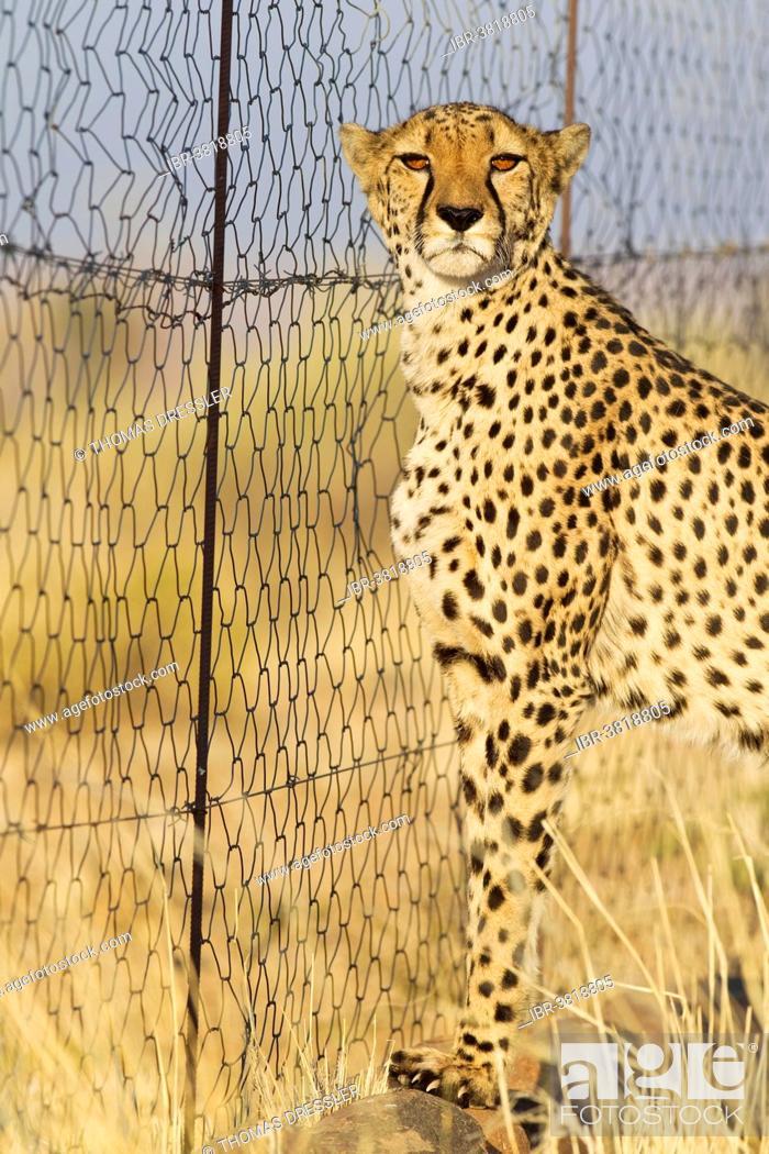 Stock Photo: Cheetah (Acinonyx jubatus), female at the fence of her enclosure, captive, Namibia.