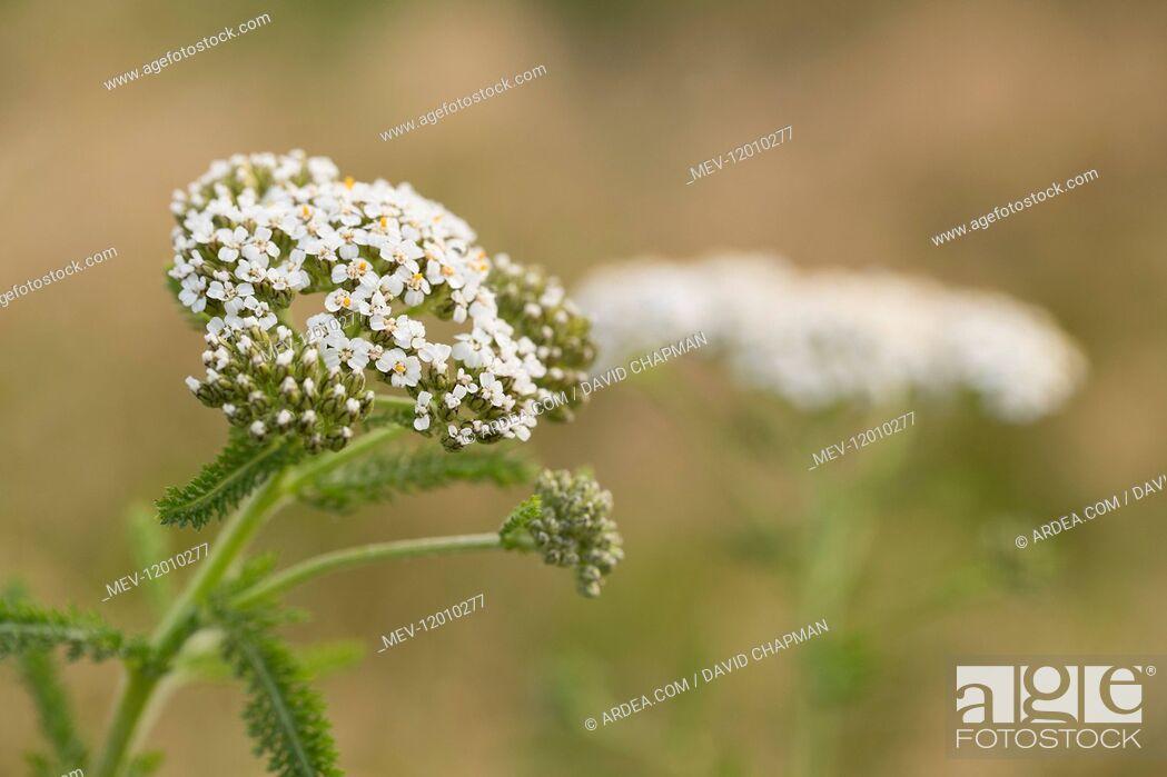 Stock Photo: Yarrow - Flowering - Isles of Scilly - UK.