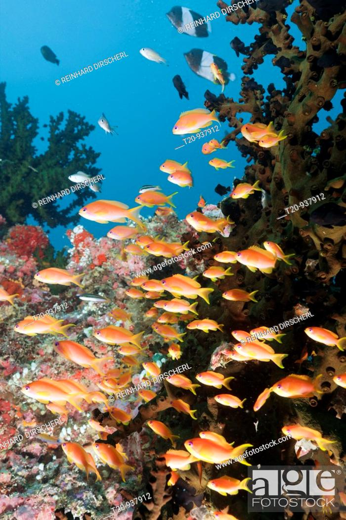 Stock Photo: Coral Reef with Anthias, Pseudanthias squamipinnis, Himendhoo Thila, North Ari Atoll, Maldives.