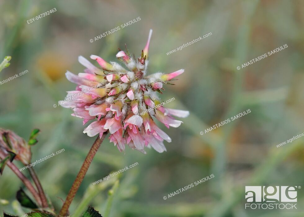 Stock Photo: Trifolium resupinatum (reversed clover, Persian clover, shaftal), Crete.