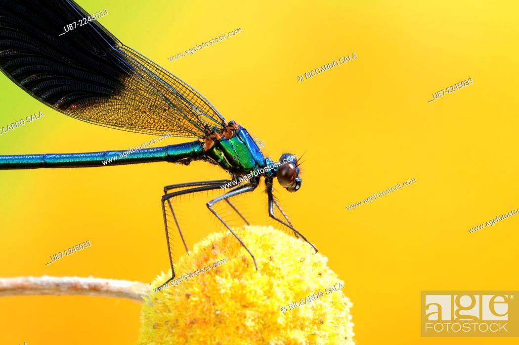 Stock Photo: Italy, Lombardy, Banded Demoiselle, Calopteryx Splendens.