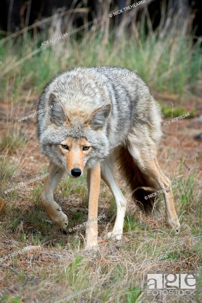 Stock Photo: Canis latrans, coyote, rocky mountains, Alberta, Canada.