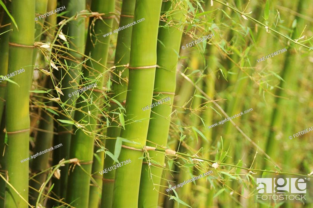 Stock Photo: bamboo, bamboo plant, agriculture.