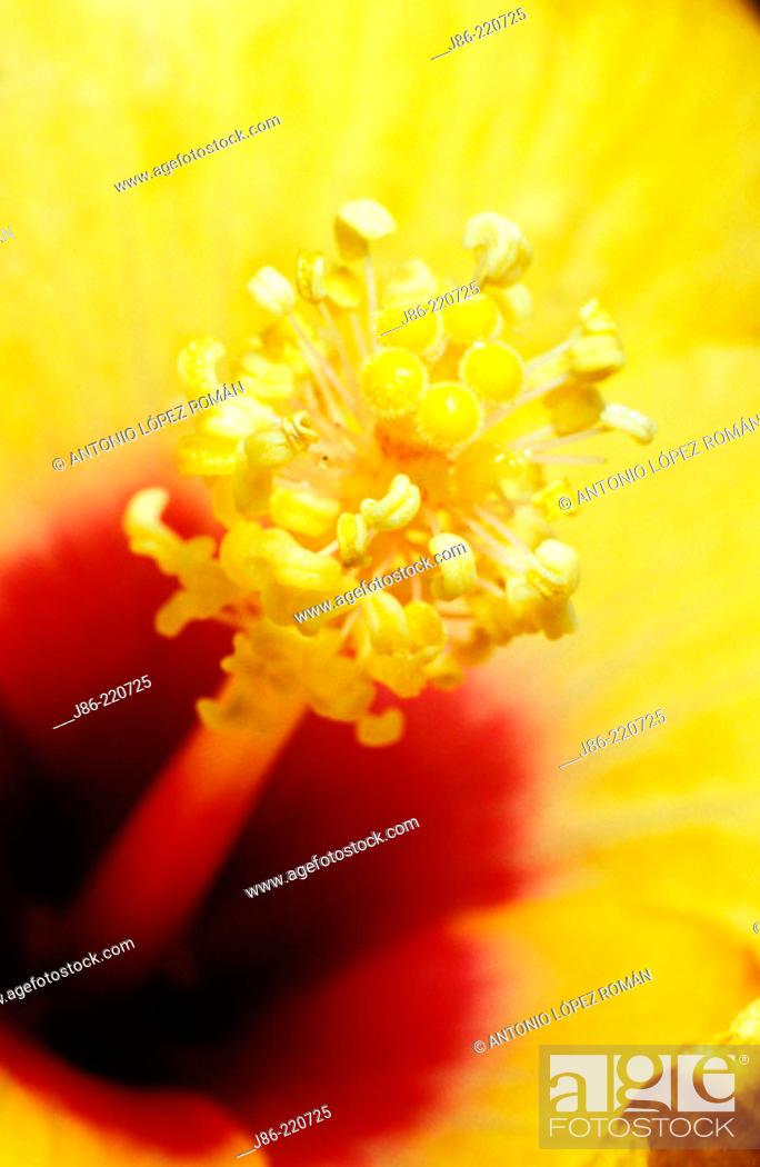 Stock Photo: Hibiscus (Hibiscus spp.).
