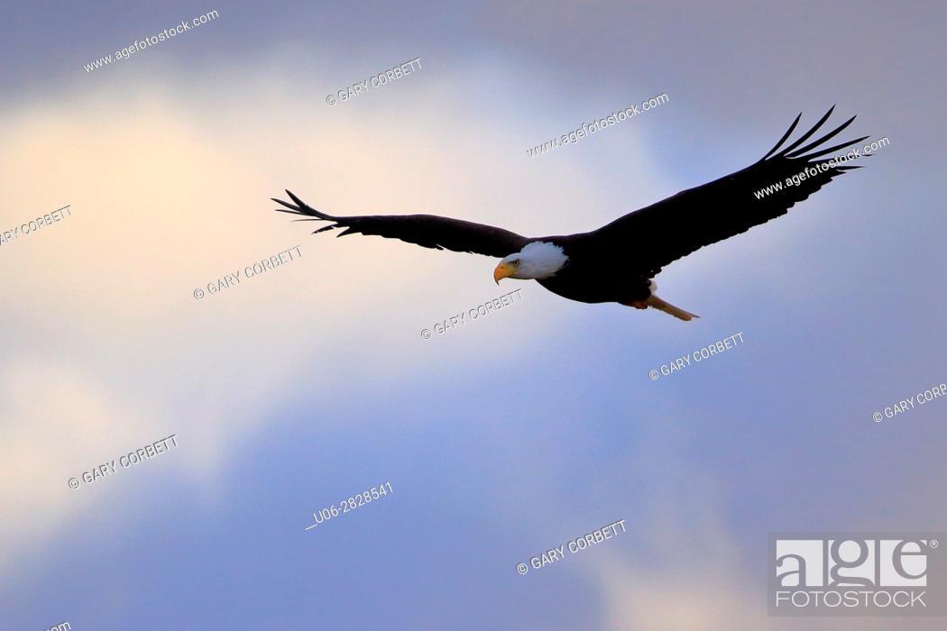 Stock Photo: bald eagle.
