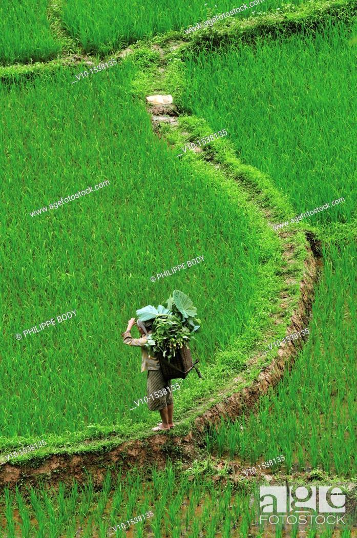 Stock Photo: White Tay ethnic tribe in rice field, Ban Ko Muong, Hoa Binh province, Vietnam.