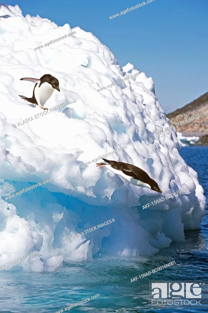 Stock Photo: Adelie Penguins dive off iceberg into South Atlantic ocean Antarctica Summer.