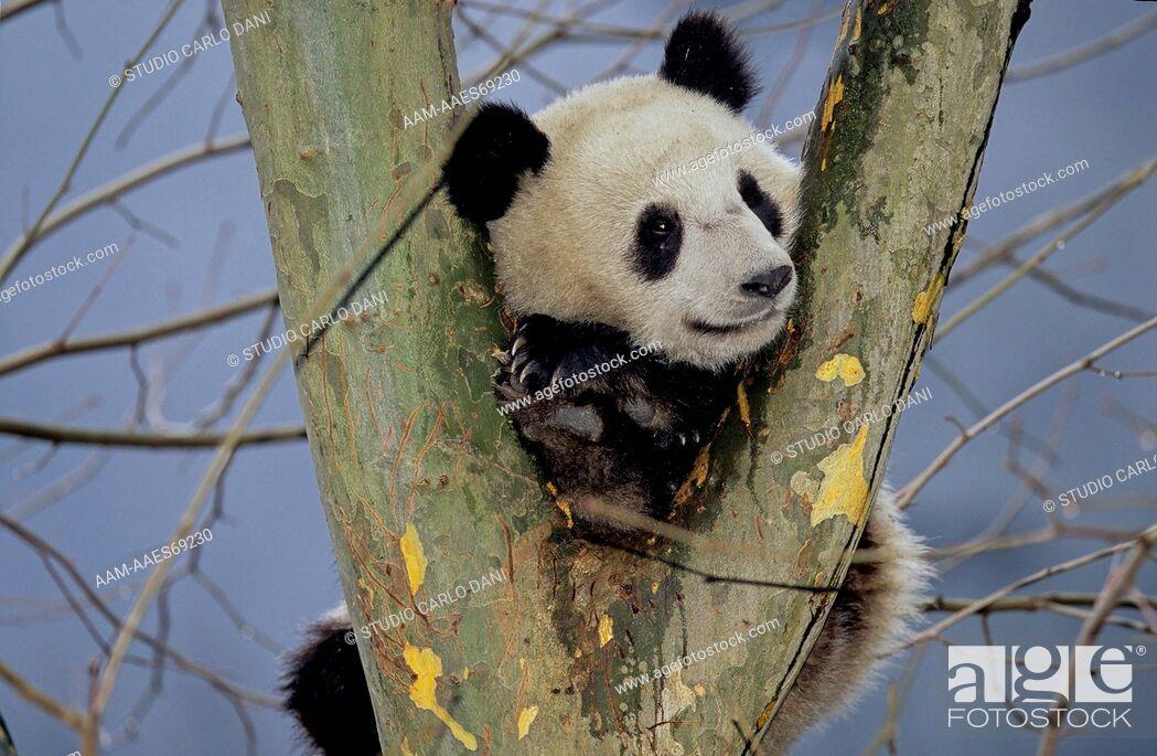 Stock Photo: Giant Panda In Tree (Ailuropoda Melanoleuca), Wolong, Sichuan, China, Sichuan Giant Panda Sanctuary, Man & Biosphere Protected Area, Unesco.