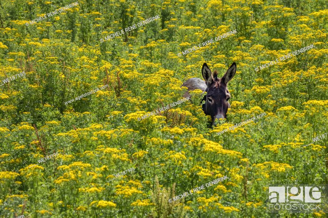 Stock Photo: Donkey walking through tall yellow wildflowers in summertime in Northern Ireland.