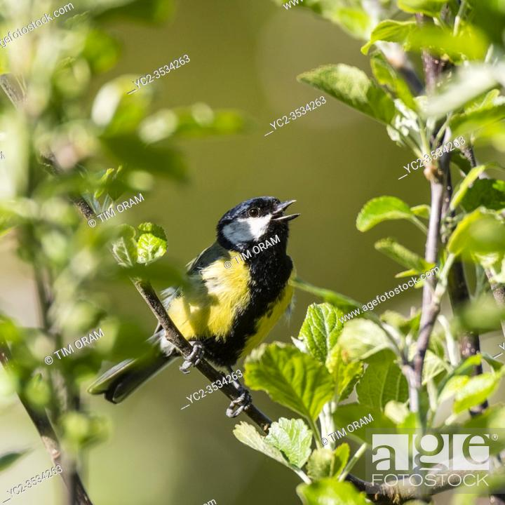 Stock Photo: A Great Tit (Parus major) singing in the Uk.