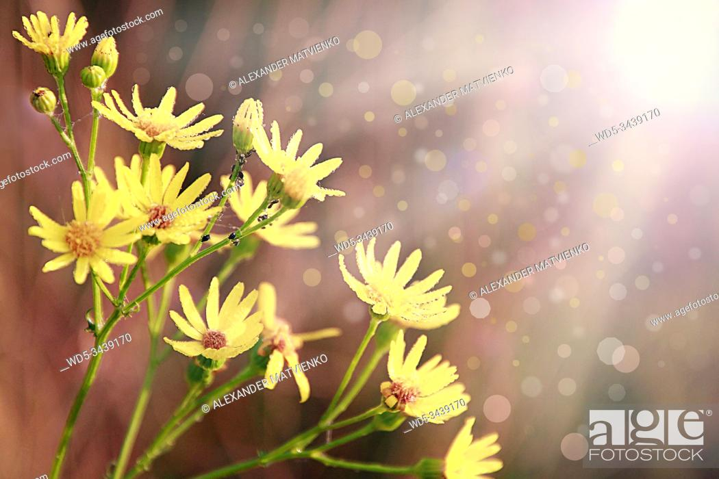 Stock Photo: Yellow Senico jacobaea blossoming in garden. Jacobaea vulgaris blossoming in sunny rays. Summer flowers in field. Postcard with sun light falling onto yellow.
