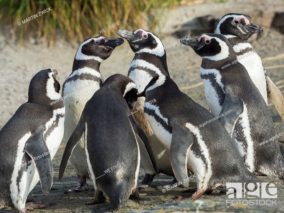 Stock Photo: Social interaction and behaviour in a group. Magellanic Penguin (Spheniscus magellanicus). South America, Falkland Islands, January.