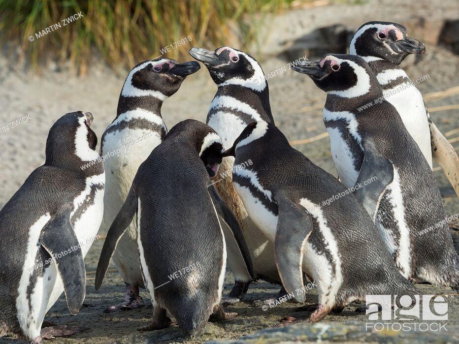 Imagen: Social interaction and behaviour in a group. Magellanic Penguin (Spheniscus magellanicus). South America, Falkland Islands, January.