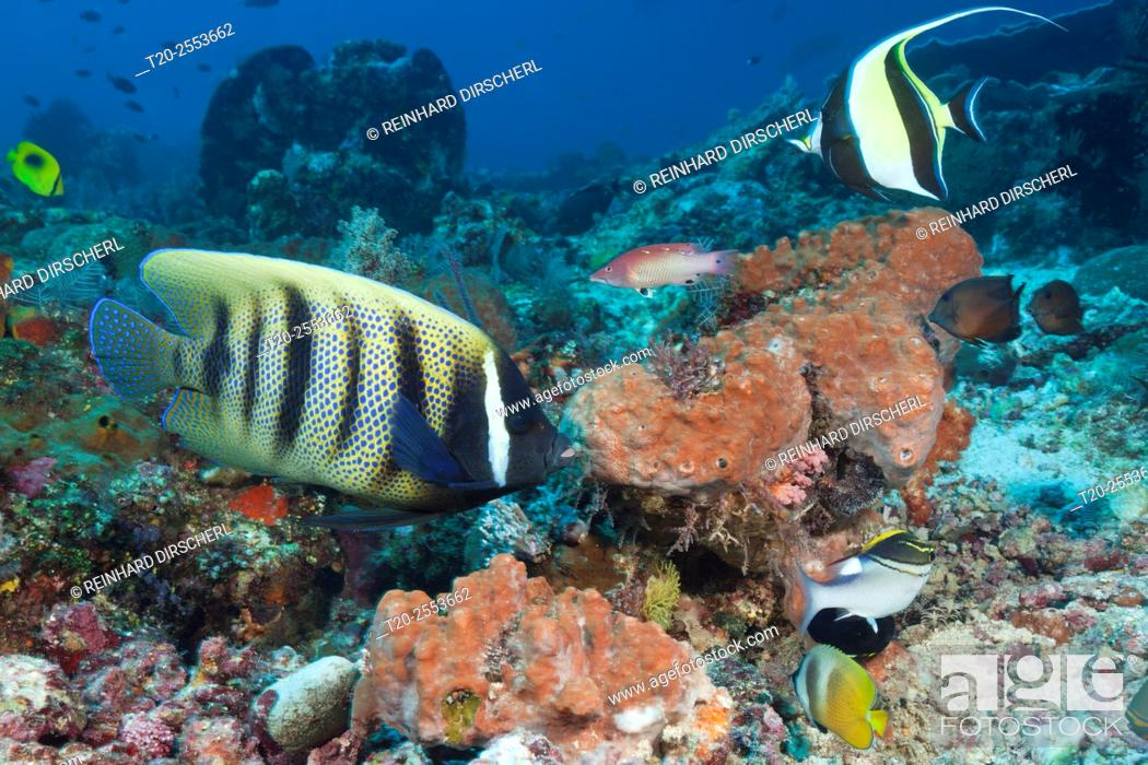 Stock Photo: Six-banded Angelfish in Coral Reef, Pomacanthus sexstriatus, Komodo National Park, Indonesia.