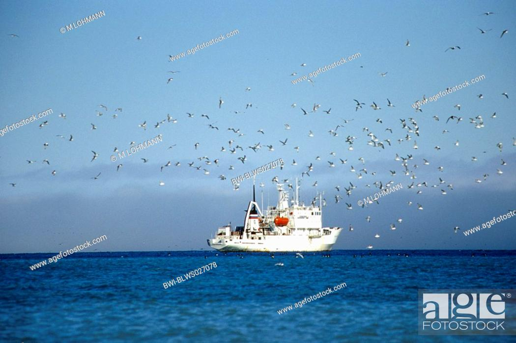 Stock Photo: Bruennich's guillemot Uria lomvia, swarm in front of research ship near Alkefjellet, Norway, Spitsbergen.