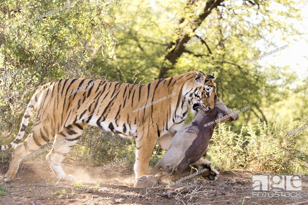 Stock Photo: South Africa, Private reserve, Asian (Bengal) Tiger (Panthera tigris tigris), female adult with a prey, Common warthog (Phacochoerus africanus).