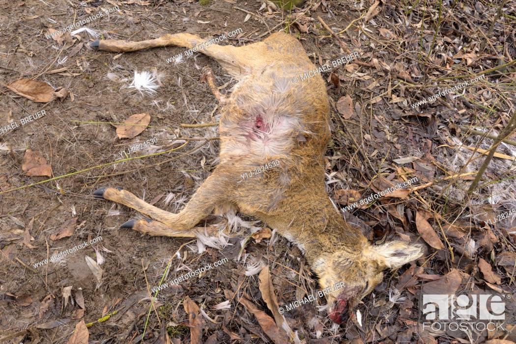 Stock Photo: Dead Roe Deer (Capreolus capreolus), Hesse, Germany, Europe.