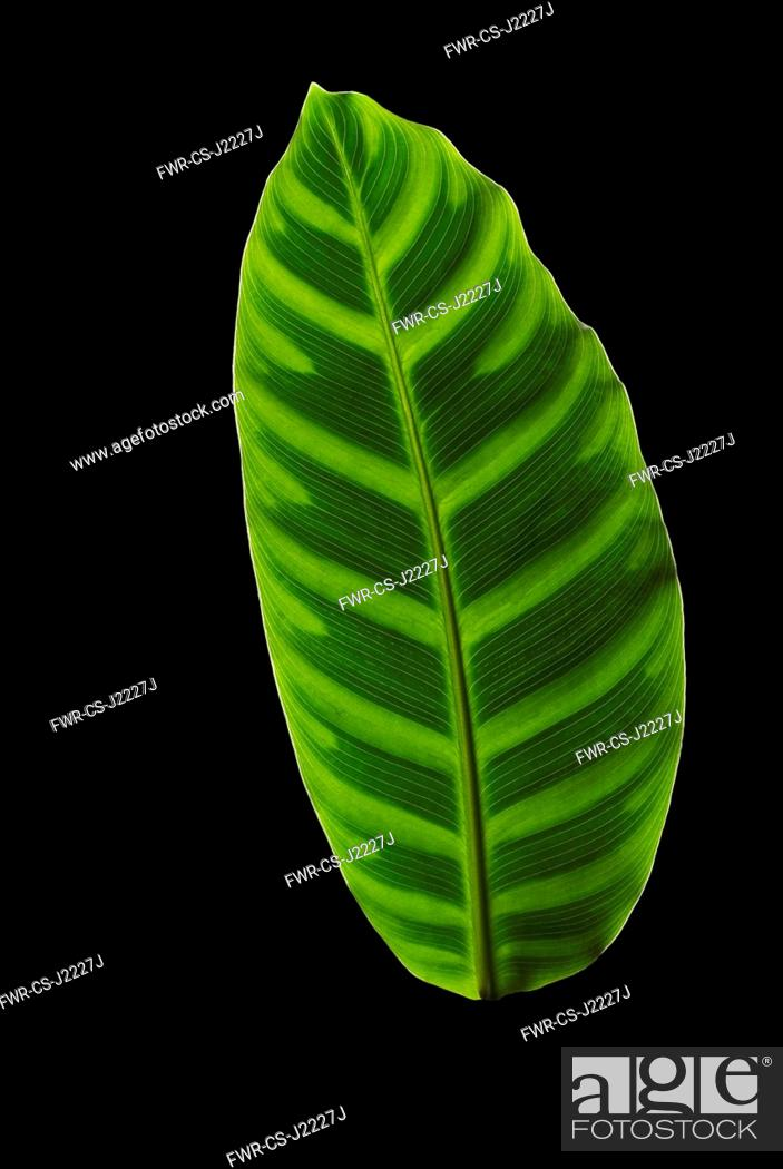 Imagen: Zebra plant, Calathea zebrina, Front view of one light green leaf with regular dark markings each side of midrib.