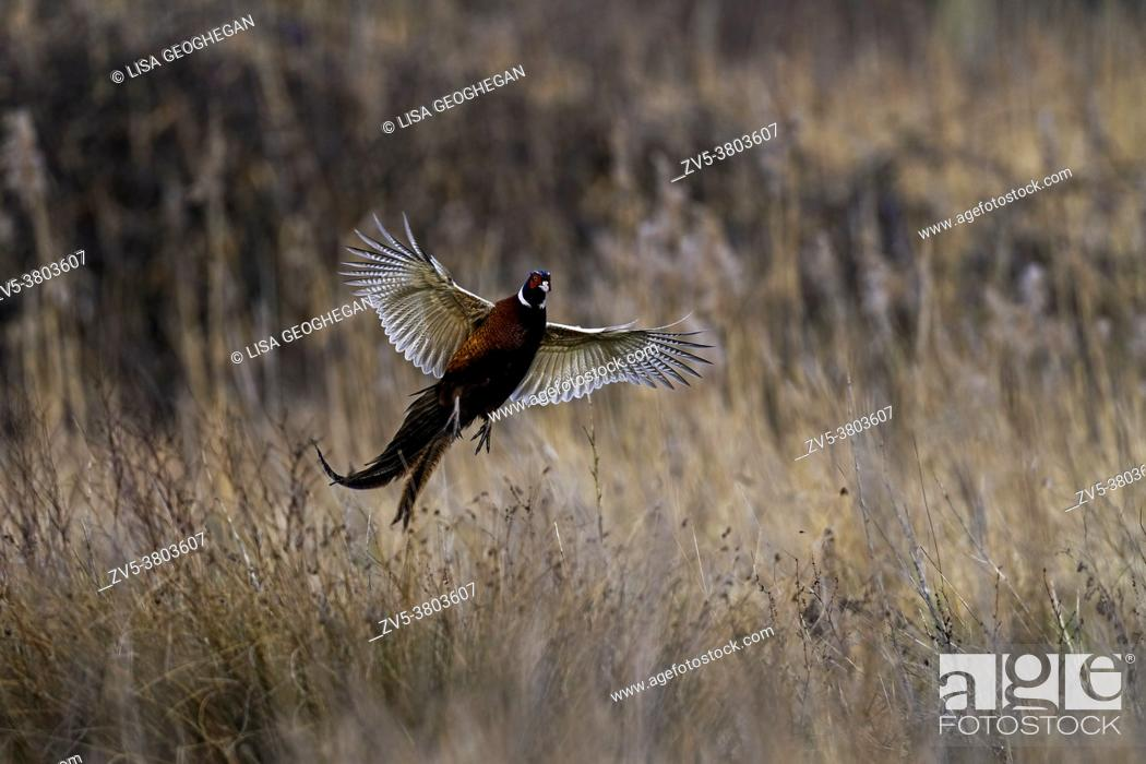 Stock Photo: Male Pheasant-Phasianus colchicus lands in grassland.