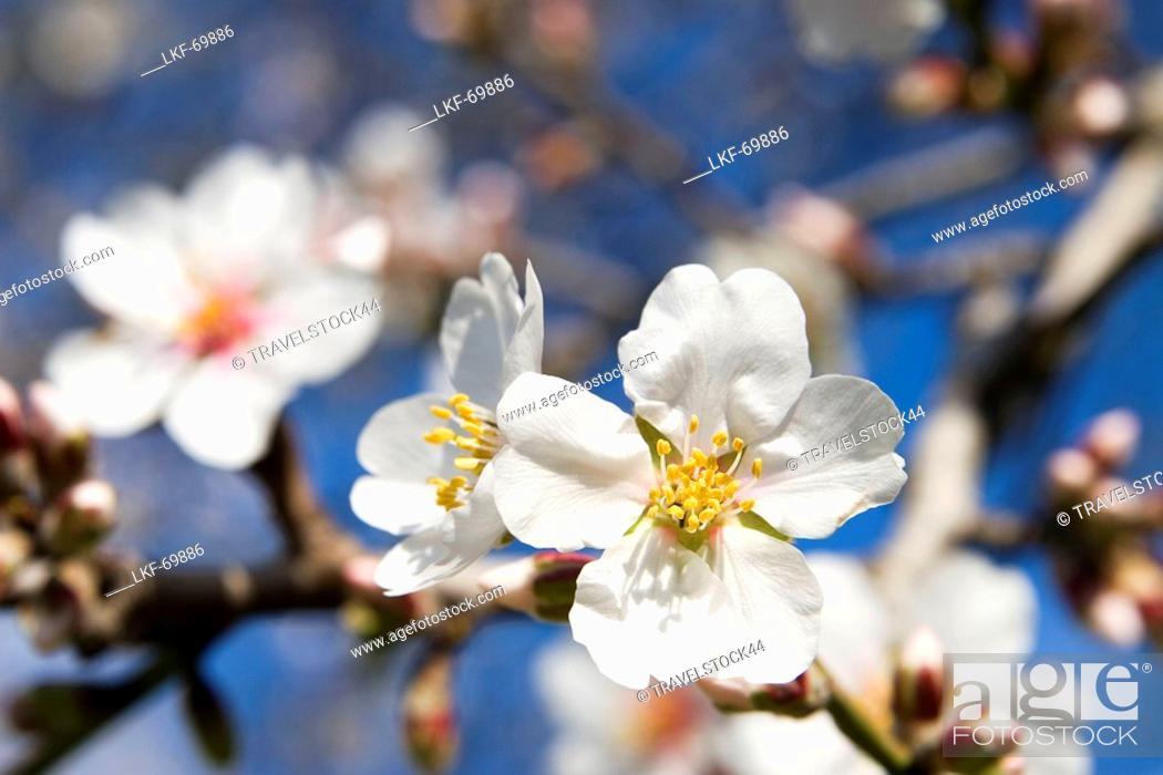 Stock Photo: Mallorca almond blossom.
