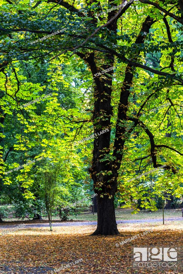 Stock Photo: Old beautiful chestnut tree with the sunlight coming through branches in Japanese Park in Summer, Wroclaw, Poland. Vertical view.