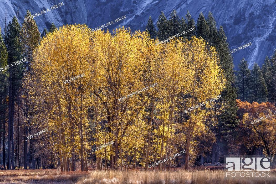 Stock Photo: Yosemite Valley Cottonwoods in Fall.