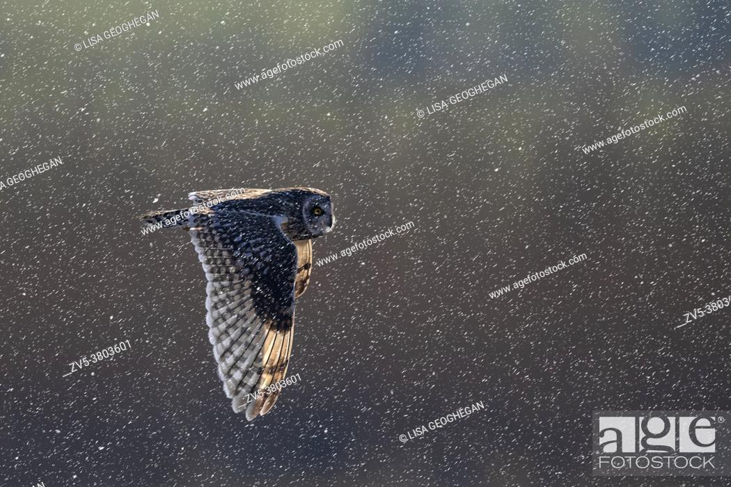 Imagen: Short-eared Owl-Asio flammeus hunts during snow.