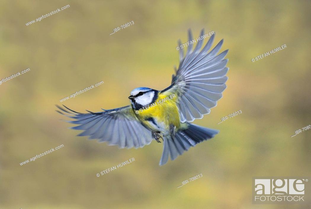 Stock Photo: Blue Tit (Cyanistes caeruleus, Parus caeruleus), approach.